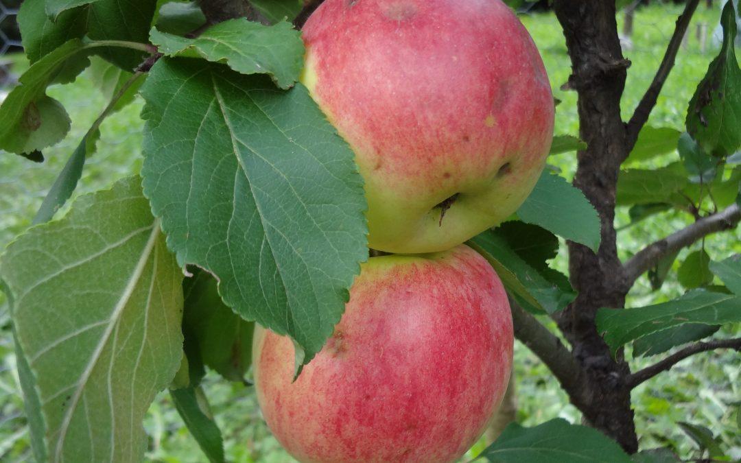 La coltivazione del melo Jakob Fischer in alta quota – Aggiornamento novembre 2018